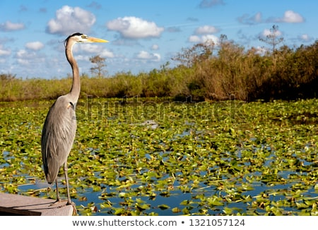 fauna of Everglades National Park, Florida, USA Stock photo © phbcz