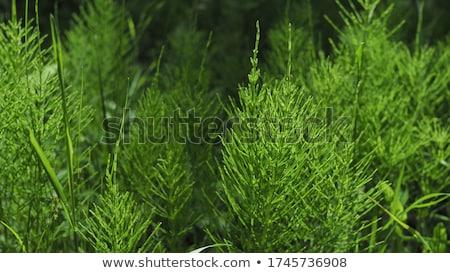 Usine saine herbe naturelles guérir Photo stock © FOKA