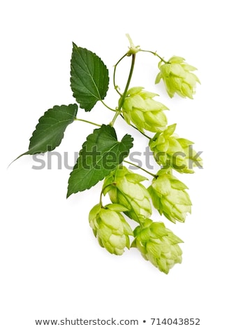 fresh hop branch, isolated on white background Stock photo © inxti