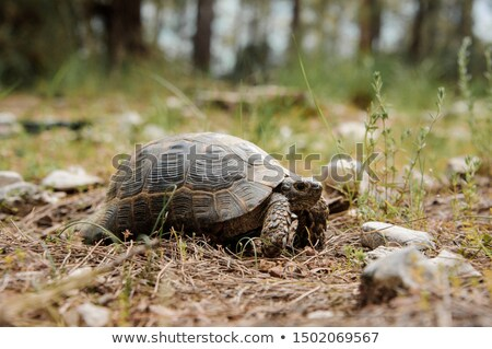 Turtle on dry grass Stock photo © pinkblue