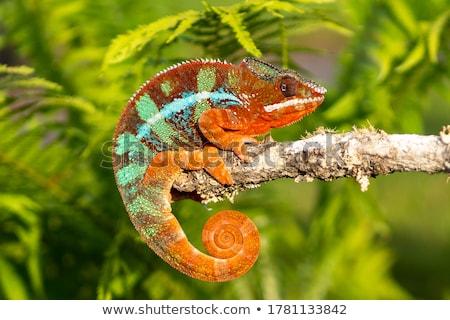 Geel · Blauw · hagedis · kleurrijk · drogen · tak - stockfoto © angelsimon