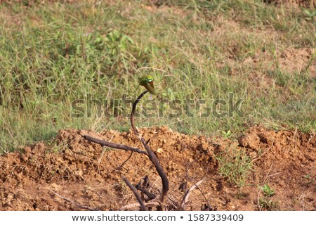colorful Bee-eater on a twig in green vegetation Stock photo © prill