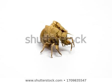Cicada Shell Stock photo © macropixel