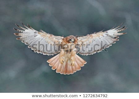 Red Tailed Hawk  Brown Feathers  Stock photo © billperry