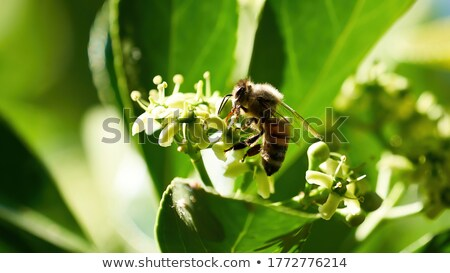 Bee With Red Abdomen Stock photo © rhamm