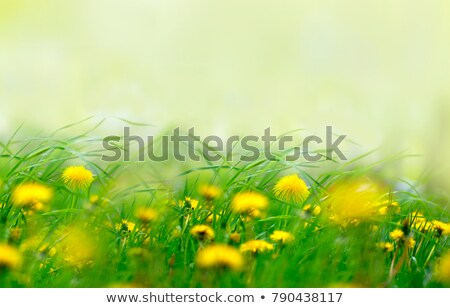 Yellow flowers and green limes stock photo © tboyajiev