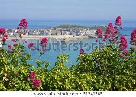 St. Ives wild red Valerian (Centranthus ruber), Cornwall UK. Stock photo © latent