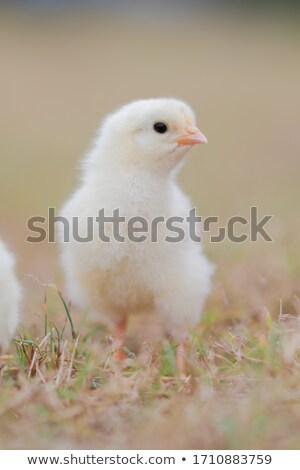 little fluffy chick is looking at insect stock photo © orensila