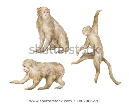 macaque monkey Stock photo © sirylok