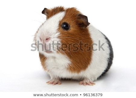 Small colored guinea pig Stock photo © maros_b