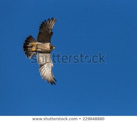 falco peregrinus in flight Stock photo © taviphoto