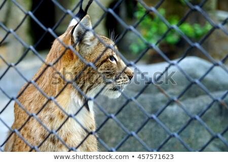 Lynx kooi Canada dierentuin kat hek Stockfoto © saddako2