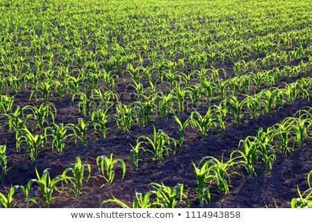 Jóvenes maíz flor primavera pradera verano Foto stock © pixelman