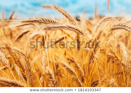 ears of wheat in the sun stock photo © -baks-