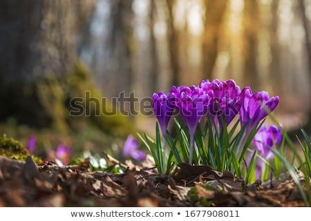 Blüte · Wiese · erste · Frühling · Krokus · Blumen - stock foto © kotenko
