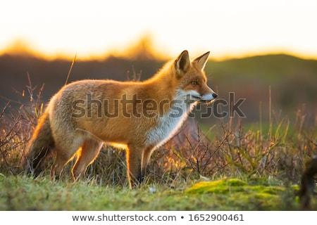 Rosso Fox foresta illustrazione Coppia divertente Foto d'archivio © adrenalina