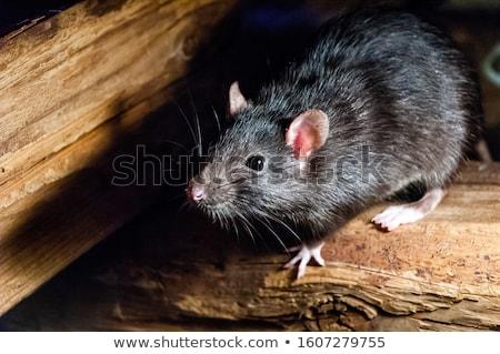Kahverengi sıçan bir beyaz ev vücut Stok fotoğraf © bluering