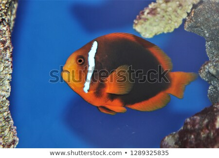 Cinnamon clownfish swimming under the sea Stock photo © bluering