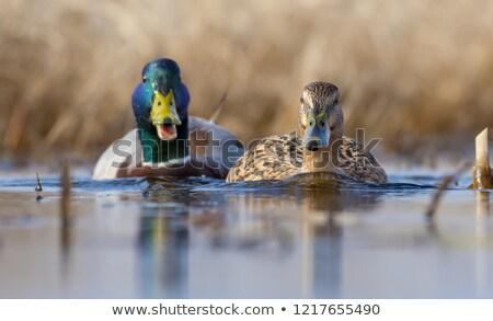 Kaczka ilustracja ślub para ptaków funny Zdjęcia stock © adrenalina