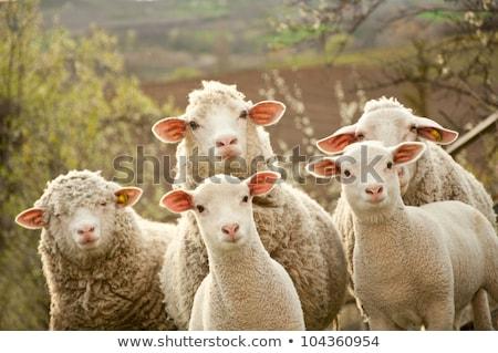 群れ 羊 白 後ろ フェンス ファーム ストックフォト © hamik