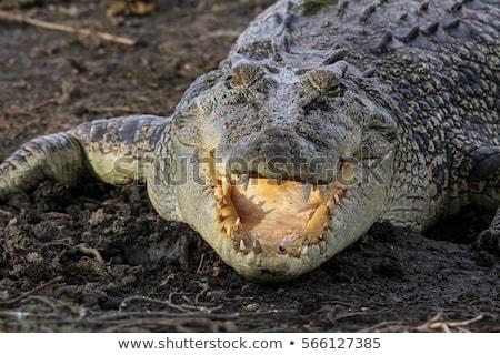 Sósvízi krokodil Queensland Ausztrália hal természet Stock fotó © dirkr