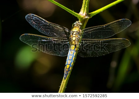 Black-tailed skimmer (Orthetrum cancellatum) stock photo © dirkr