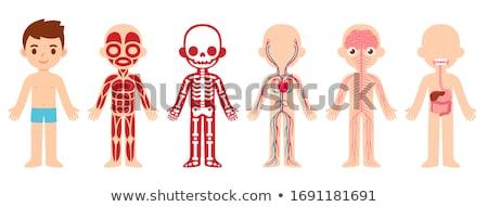 Ragazzo fegato diagramma illustrazione medico bambino Foto d'archivio © bluering
