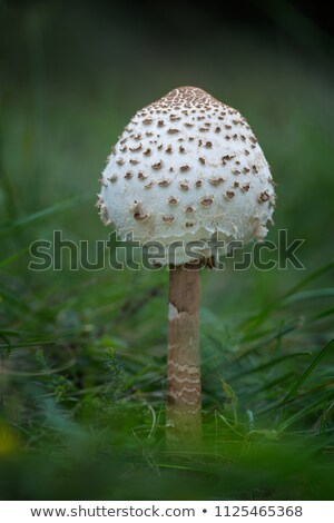 Young Parasol mushroom in the morning sunlight Stock photo © digoarpi