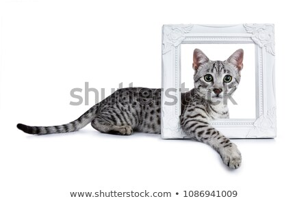Aranyos ezüst egyiptomi macska kiscica fektet Stock fotó © CatchyImages