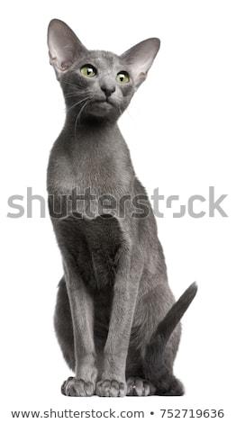 Stockfoto: Cute · korthaar · kitten · witte · kat