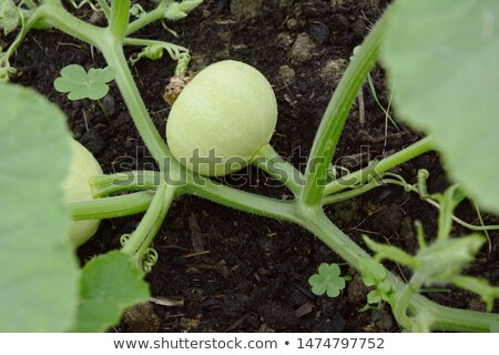 Smooth-skinned, pale green gourd growing on a prickly vine Stock photo © sarahdoow