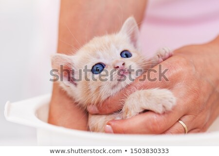 Cute ginger rescue kitten getting a bath - woman hands holding a Stock photo © ilona75