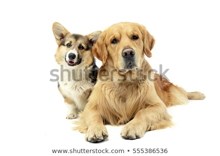 Studio shot of an adorable Corgie and a Golden retriever Stock photo © vauvau