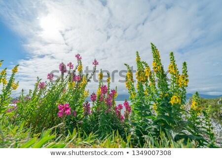 黄色 花 青空 黄色の花 フィールド ストックフォト © Ansonstock