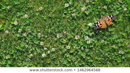 Koniczyna trawy charakter liści ogród piękna Zdjęcia stock © fanfo