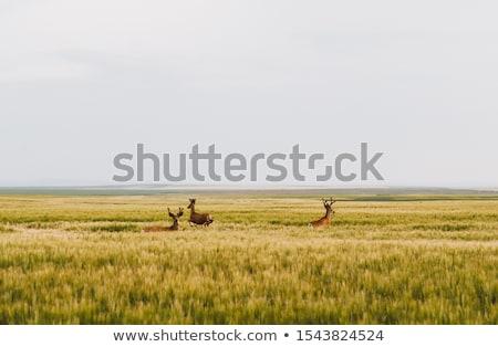 Mule Deer in Wheat Field Stock photo © pictureguy