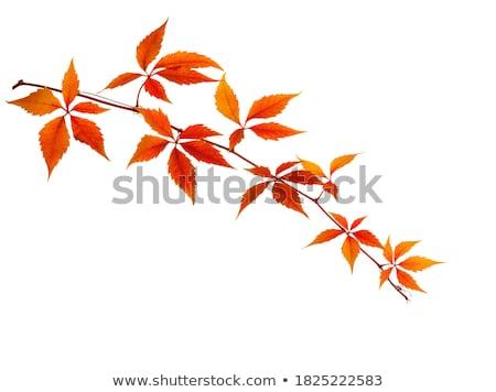 Klimop tak geïsoleerd witte natuur achtergrond Stockfoto © smithore