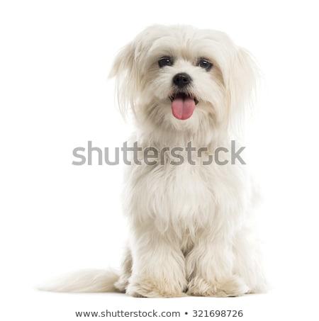 maltese dogs stock photo © sahua