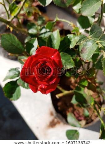 red desire Stock photo © dolgachov