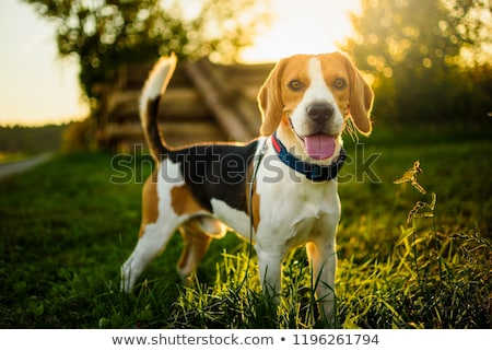 Beagle hound Stock photo © eriklam