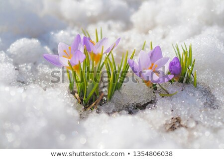 crocus buds in the snow stock photo © manfredxy