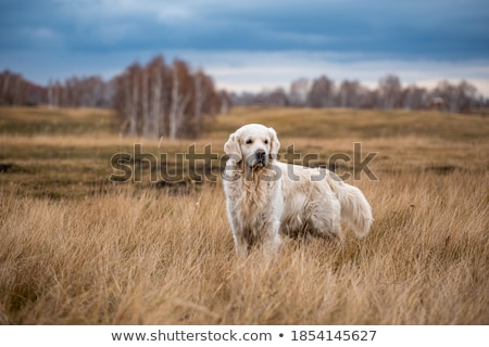 Negro labrador retriever azul cadena caminata hermosa Foto stock © silense