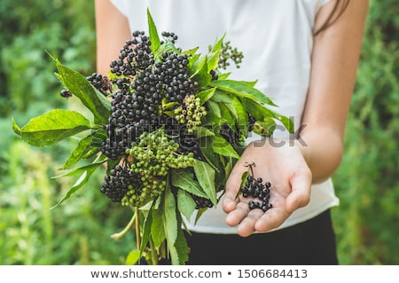 elderberries stock photo © joker