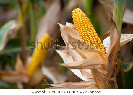 dois · orelhas · milho · isolado · branco · comida - foto stock © hraska