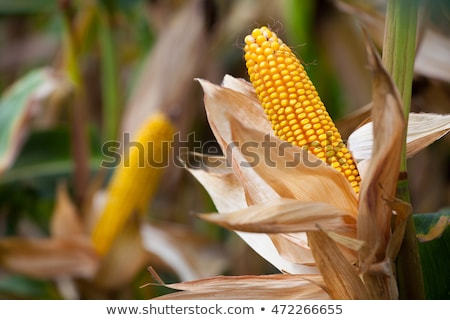 Maturing corn ears Stock photo © hraska