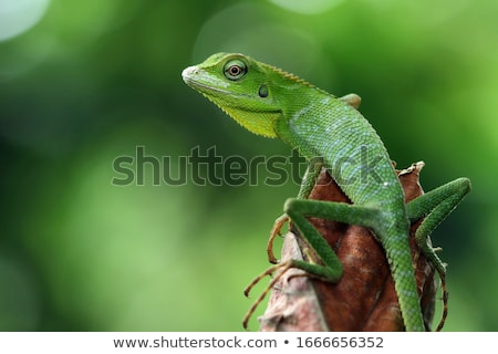 lézard · marche · jardin · nature · vert - photo stock © janhetman