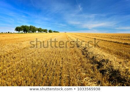 Restolho campo campo de trigo céu sol pôr do sol Foto stock © mobi68