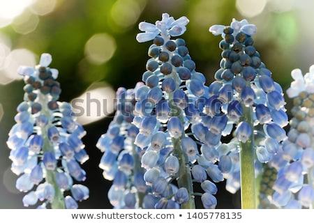 çiçekler · tablo · taze · mavi · ahşap · doğa - stok fotoğraf © mady70