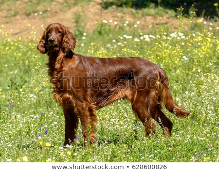 The portrait of Irish Red Setter on a green grass lawn Stock photo © CaptureLight