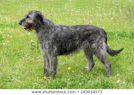 The detail of Irish Wolfhound Stock photo © CaptureLight